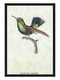 Hummingbird: Trochilus Prasina Wall Decal by Sir William Jardine