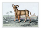 The Bearded Argali Wall Decal by John Stewart