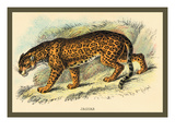 Jaguar Wall Decal by Sir William Jardine