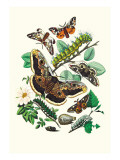 Moths: E. Versicolora, S. Pyri, S. Carpini Wall Decal by William Forsell Kirby