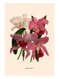 Orchid: Cattleya Labiata Wallstickers