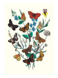 Butterflies: M. Cynthia, M. Athalia Wall Decal by William Forsell Kirby