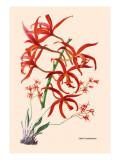 Orchid: Laelia Cinnabarina Wall Decal