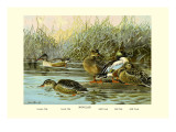 Shoveller Family of Ducks Wall Decal by Allan Brooks