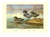 Falcated Teal Ducks Wall Decal by Allan Brooks
