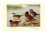 Maccoa and Blue-Billed Ducks Wall Decal by Henrick Gronvold