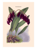 Orchid: Pleurothallis-Roezli Wall Decal by William Forsell Kirby