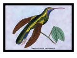 Hummingbird: Campylopterus Latipennis Wall Decal by Sir William Jardine