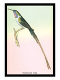 Hummingbird: Trochilus Cora Wall Decal by Sir William Jardine