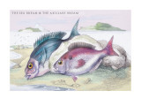 The Sea Bream and the Axillary Bream Wall Decal by Robert Hamilton
