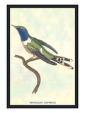 Hummingbird: Trochilus Dupontii Wall Decal by Sir William Jardine