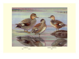 Gadwall and Coues&#39;s Gadwall Ducks Wall Decal by Louis Agassiz Fuertes
