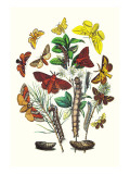 Moths: G. Quercifolia, L. Potatoria Wall Decal by William Forsell Kirby