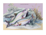 Carp Bream and Roach Wall Decal by Robert Hamilton