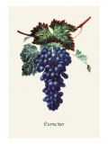Eumelan Grapes Wall Decal
