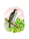 The Black-Cap Hawk Wall Decal by Theodore Jasper