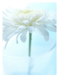 White Anemone Dahlia II Wall Decal