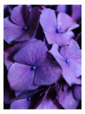 Purple Hydrangea Close-up Wall Decal