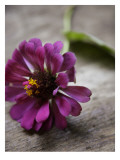 Purple Zinnia Wall Decal