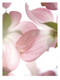 Pink Dogwood Flowers II Wall Decal