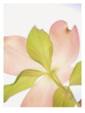 Pink Dogwood Flowers I Wall Decal