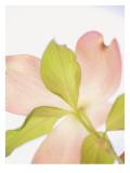 Pink Dogwood Flowers I Wall Decal