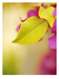 Bougainvillea Muursticker