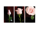 Pink Roses Triptych Wall Decal
