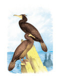 Townsend's Cormorant Wall Decal by Theodore Jasper