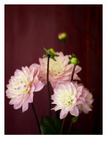 Pink Dahlias I Wall Decal