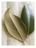 Magnolia Leaves I Wall Decal
