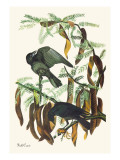 Fish Crow Wall Decal by John James Audubon