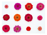 Pinks and Reds on White, Zinnia Family Wall Decal