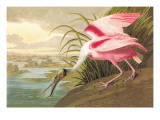 Roseate Spoonbill Wall Decal by John James Audubon