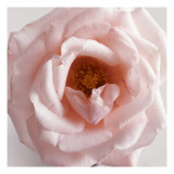 Powder Pink Rose III Wallstickers