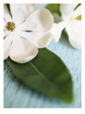 Open Magnolia Flower Wall Decal