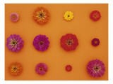 Pinks and Reds on Taffy Orange, Zinnia Family Wall Decal