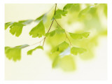 Ginkgo Breeze Wall Decal