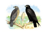 Red Shouldered Hawk Wall Decal by Theodore Jasper