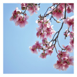 Pink Tree Blossoms Wallstickers