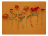 Zinnia Row on Orange Wall Decal