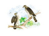Sharp Skinned Hawk with Broad Wing Hawk Wall Decal by Theodore Jasper