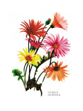 Hybrid Gerbera Wall Decal