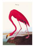 Flamingo Wallsticker af John James Audubon