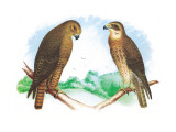 Hen Hawk and Swainson's Hawk Wall Decal by Theodore Jasper