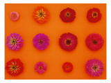 Pinks and Reds on Sunset Orange, Zinnia Family Wall Decal