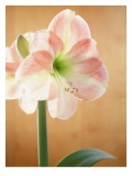 White and Pink Amaryllis Wall Decal
