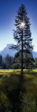 Sun Behind Pine Tree, Half Dome, Yosemite Valley, California, USA Wall Decal by  Panoramic Images