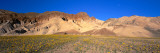 Wild Flowers Grown in the Valley, Death Valley National Park, Nevada, California, USA Wall Decal by  Panoramic Images