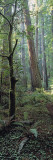 Tree Trunks, Redwood State Park, Humboldt County, California, USA Wall Decal by  Panoramic Images